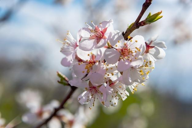 Brunch kwiatów jabłoni na jasnym tle błękitnego nieba