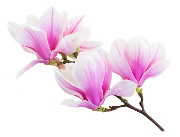 Brunch z kwitnących pąków kwiatowych różowej magnolii na białym tle