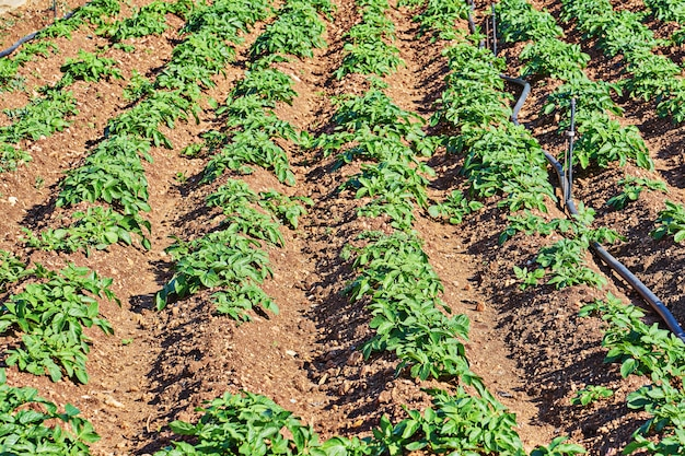 Bruzdy na zaoranym polu przygotowane z sadzonymi ziemniakami
