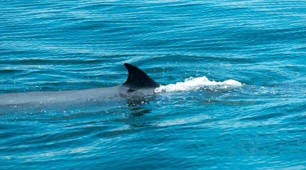Bryde's whale w tajlandii ocean