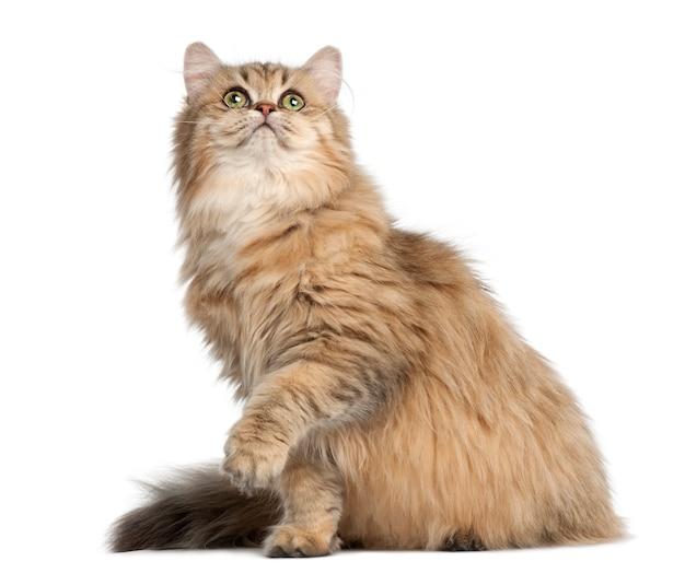 Brytyjski długowłosy kot, 4 miesiące, siedzący