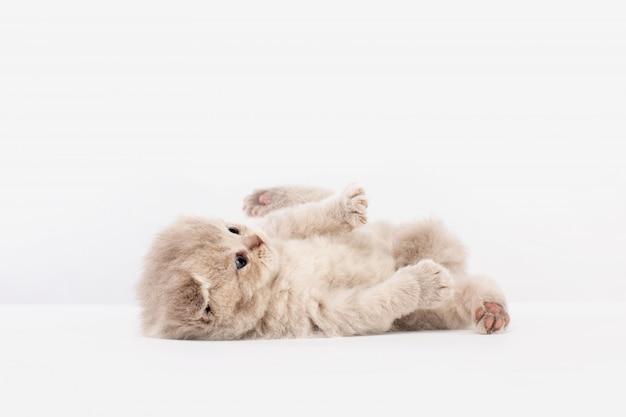 Brytyjski kociak leży na plecach i gra
