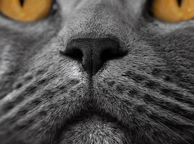 Brytyjski kot nos z bliska zdjęcie