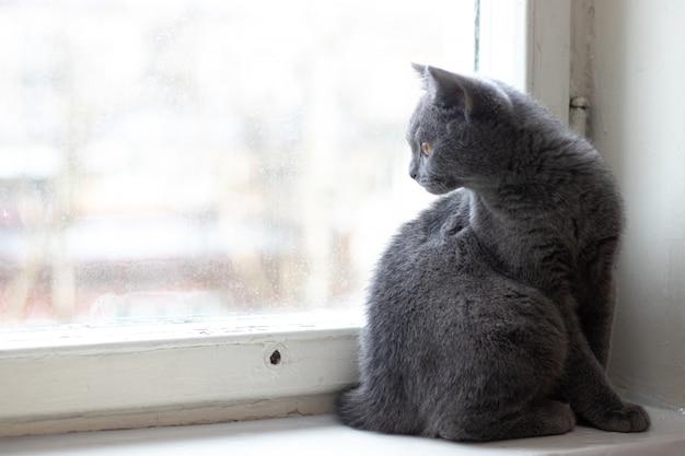 Brytyjski kotek siedzi na parapecie. słodki kotek. okładka magazynu. zwierzę domowe. szary kotek . kotek przy oknie.