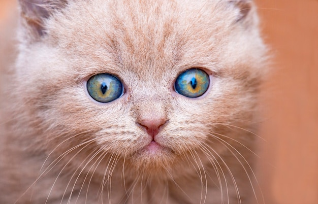 Brytyjski pręgowany kotek o niebieskich oczach