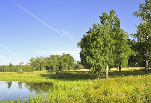 Brzeg jeziora latem brzozy zielone wśród bujnej trawy pod błękitnym niebem region nowosybirski