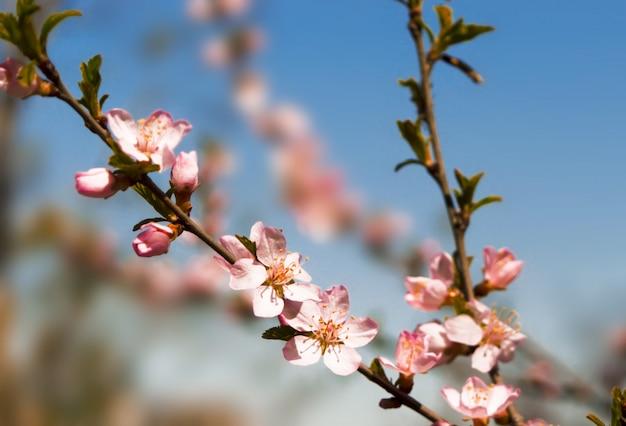 Brzoskwiniowe drzewo kwitnie na zamazanym błękitnym tle.
