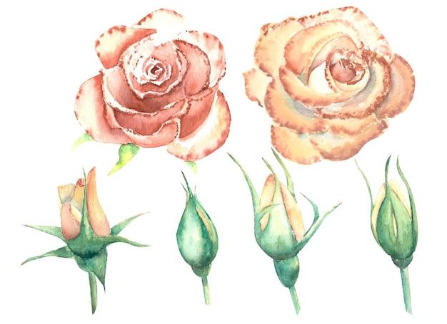 Brzoskwiniowe róże, otwarte i zamknięte kwiaty na białym tle na białym tle. akwarela ilustracja, kliparty.