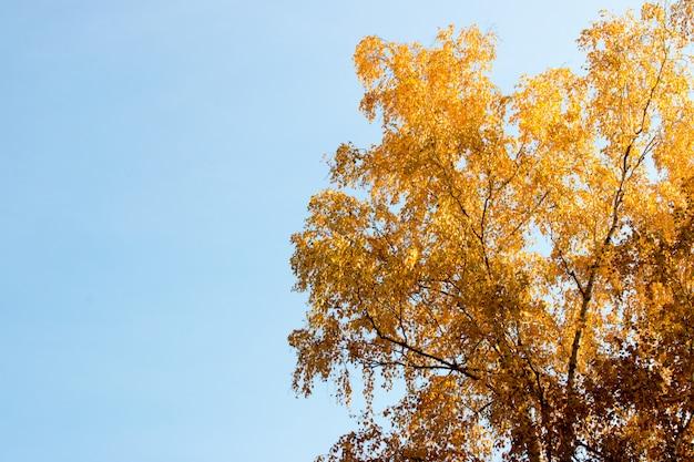 Brzoza crohna z żółtymi liśćmi i niebieskim niebem