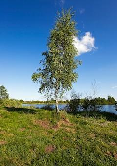 Brzoza rosnąca na brzegu rzeki. białoruś