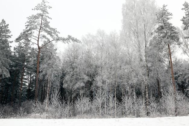 Brzoza, świerk i drzewa liściaste zamarznięte podczas nocnych mrozów, zimowy krajobraz w mieszanym lesie podczas mrozów
