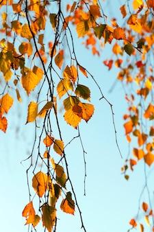 Brzoza z pomarańczowymi liśćmi jesienią przebija słońce