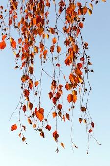 Brzoza z pomarańczowymi liśćmi w sezonie jesiennym