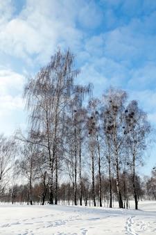 Brzoza zimą - sfotografowane z bliska nagie brzozy zimą, błękitne niebo, wierzchołki drzew,