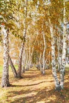 Brzozowy gaj w jasny, słoneczny dzień jesienią.