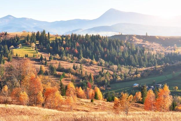 Brzozowy las w słoneczne popołudnie podczas jesieni.