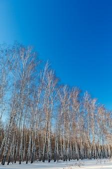 Brzozowy las w zimie. drzewo na śniegu na tle bezchmurnego nieba. rosja.