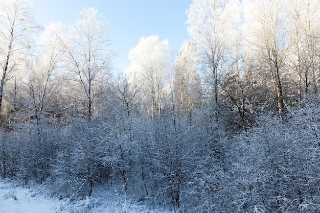 Brzozy i inne drzewa rosnące w lesie mieszanym. krajobraz w sezonie zimowym po śniegu. poranek, na wierzchołkach drzew biały szron prześwitujący przez jasne słońce
