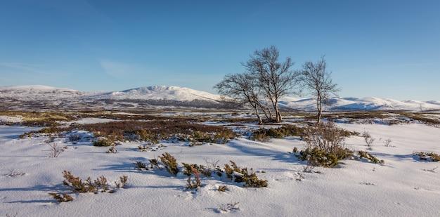 Brzozy i śnieg przed górami w górach dovre w norwegii