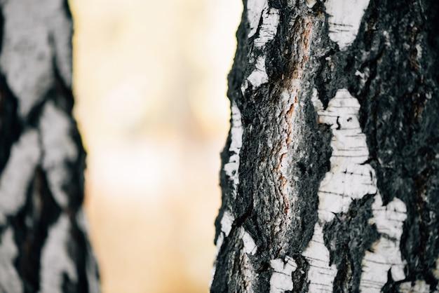 Brzozy pni w słońcu z bliska. natura białe tło. brzozy o zachodzie słońca.