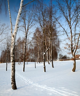 Brzozy rosnące w parku w okresie zimowym