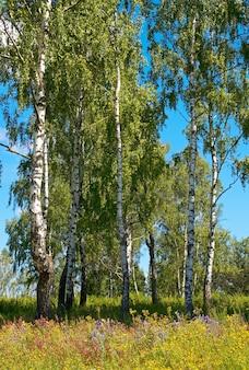 Brzozy w lesie latem z wysokimi trawami poniżej.