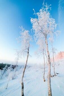 Brzozy w szronie, poranek, mroźny świt w arktycznej tundrze. słońce wschodzi nad małym miastem.