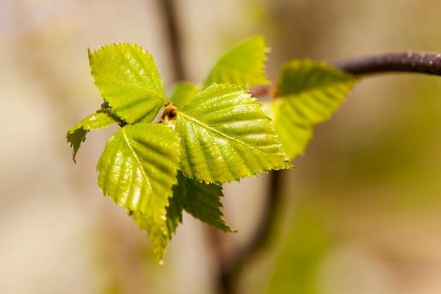 Brzozy wiosną, zbliżenie młodych zielonych liści na brzozy