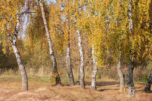 Brzozy z pięknymi lśniącymi żółtymi liśćmi przez słońce w złotą jesień