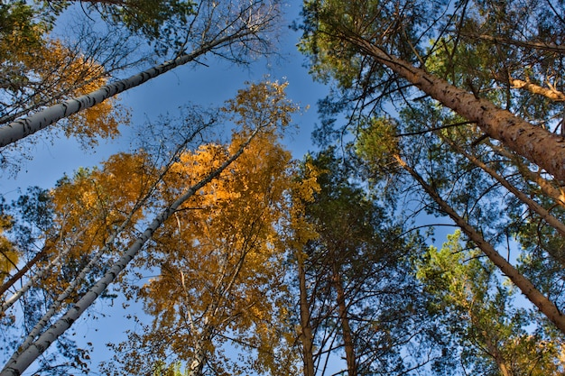 Brzozy z żółtymi liśćmi. las sosnowy. drzewa spadają pod błękitne niebo. jesienny park.