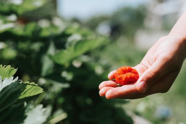 Brzydka dojrzała truskawka w dłoni dziecka na ekologicznej farmie truskawek