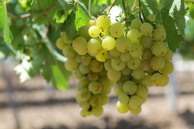 Brzydkie winogrona na winorośli nadające się do produkcji białego wina lub soku