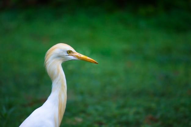 Bubulcus ibis lub czapla lub powszechnie znany jako czapla bydlęca w swoim naturalnym środowisku