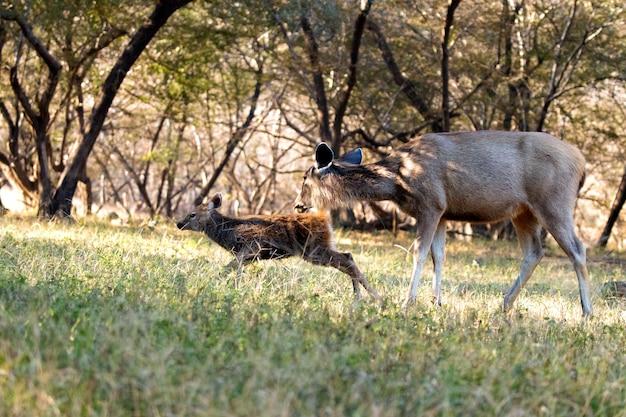 Buck i matka