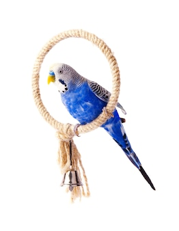 Budgie niebieski, na białym tle. papużka falista na kurniku