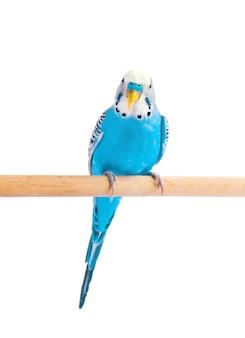 Budgie niebieski, na białym tle. papużka falista w pełnym wzroście