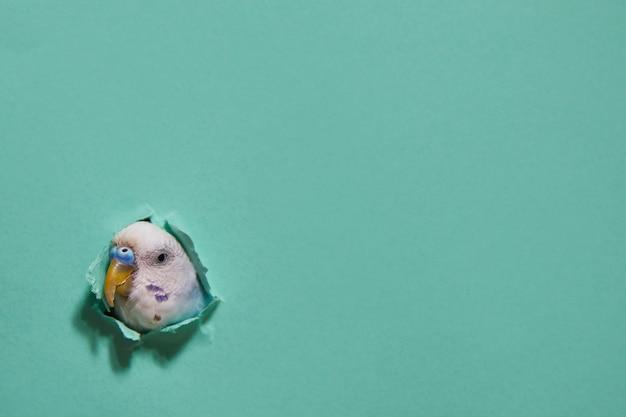 Budgie z dziury na zielonym papierze. minimalizm.
