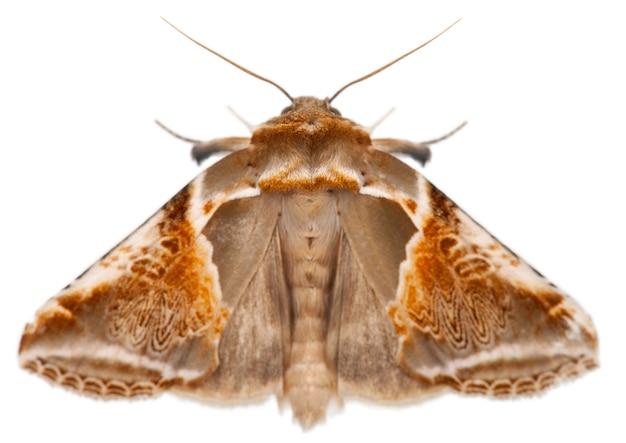 Buff arches-pyrrosides habrosyne, ćma, na białym tle