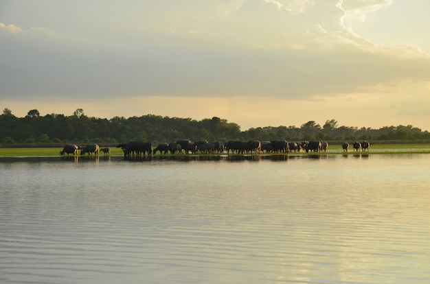 Buffalo i rive sunset