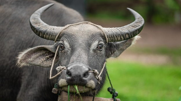 Buffalo in pasture