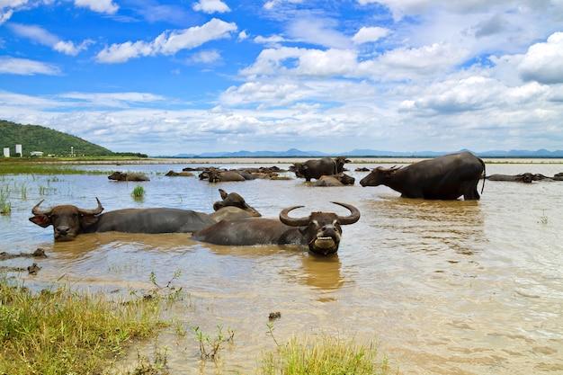 Buffalo w tajlandii, które leżą wody do chłodzenia