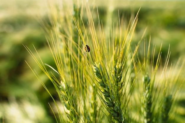 Bug biedronka na makro kłoska pszenicy