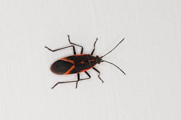 Bug boxelder, boisea trigittata na boku domu