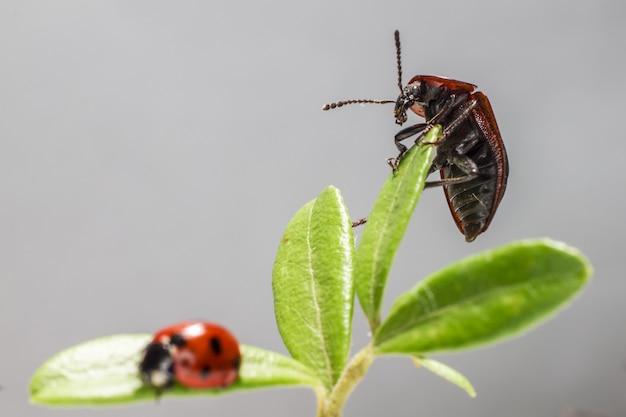 Bug i biedronka siedzi na zielonej roślinie