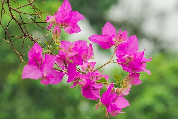 Bugenwilla glabra choisy pink to popularna ozdobna roślina kwiatowa.