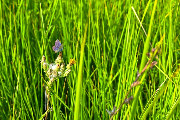 Bujna trawa i niebieski motyl w przyrodzie na zewnątrz.