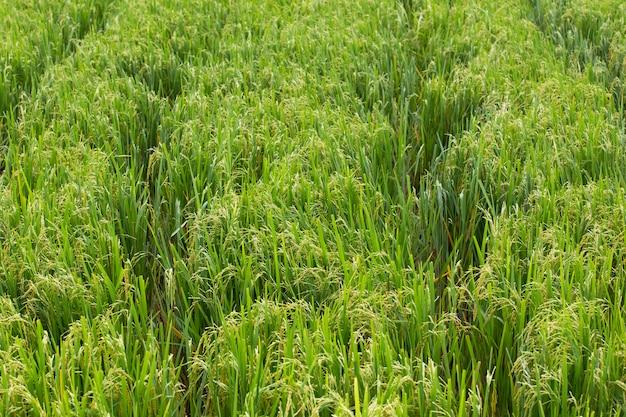 Bujne pola ryżowe z ziarnami ryżu gotowe do zbioru
