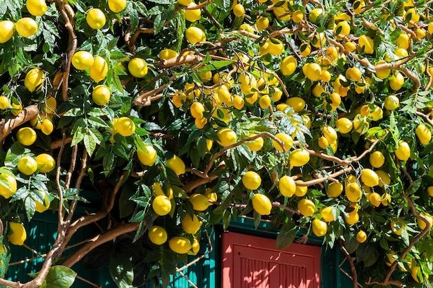 Bujne sztuczne drzewo z cytrynami jako ozdoba nad wejściem do sklepu lub kawiarni