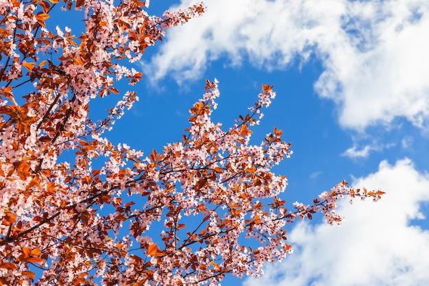 Bujnie kwitnąca wiosenna sakura na tle błękitnego nieba otoczonego chmurami