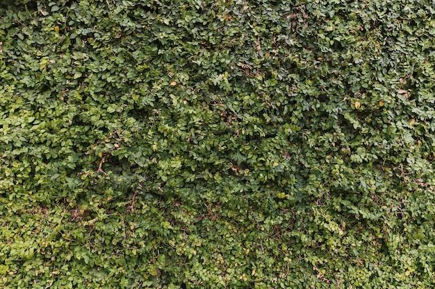Bujny jasny zielony żywopłot